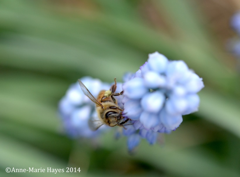 Busy Bee, collecting nectar on the many plants of the High Line.