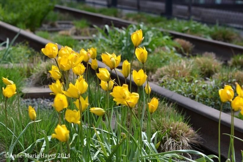 Wild tulips and the railway.