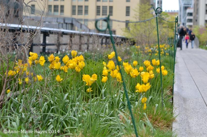 Wonderful wild tulips along 10th Avenue Square.