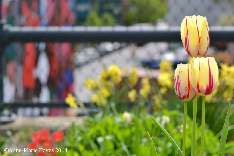 I love tulips so had to photograph these!