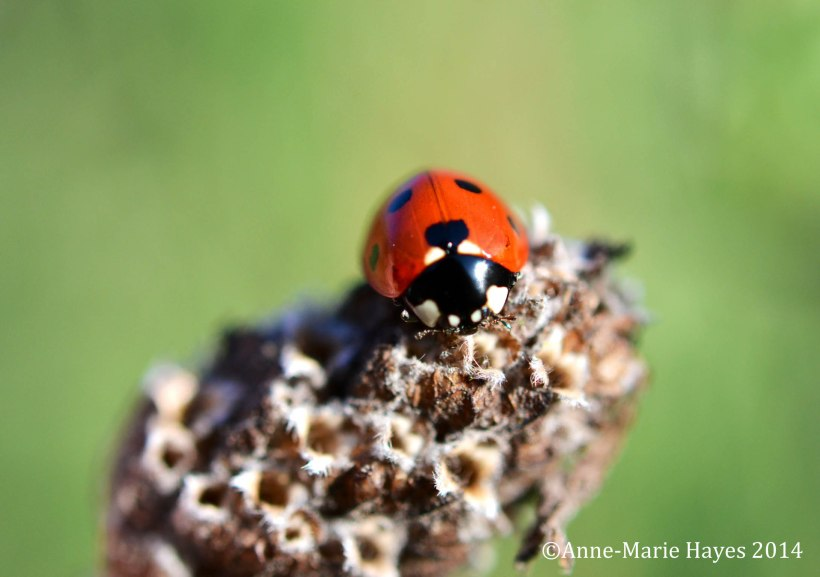 Taken in my garden this spring, I stumbled across this ladybird on a piece of lavender.