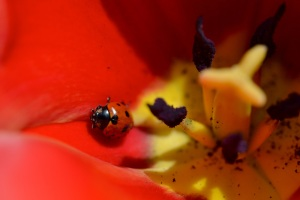 Ladybird and tulip 2