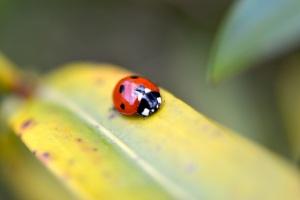 ladybird TT 2