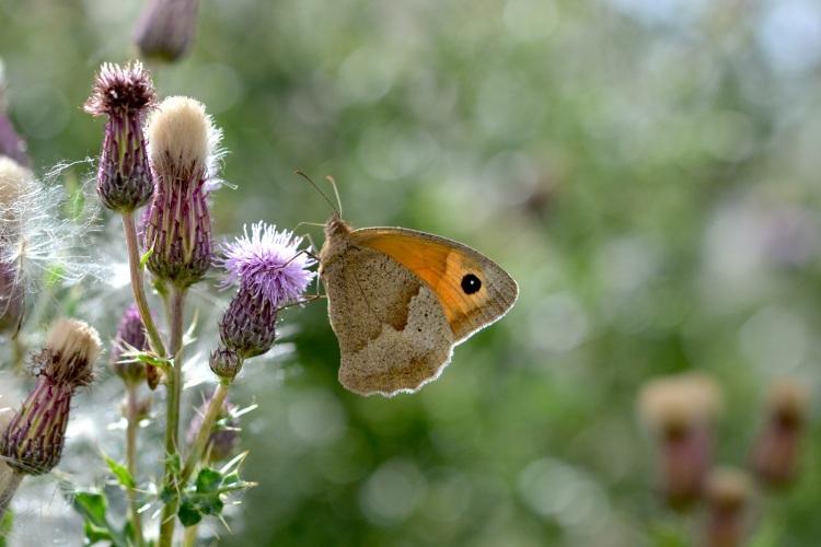 Butterflies love wildflower meadows