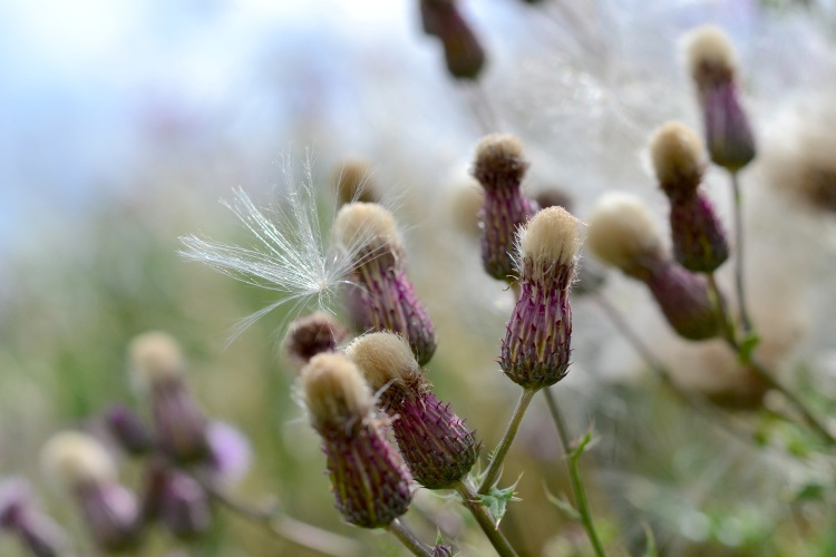 Wild thistles in a wildflower meadow